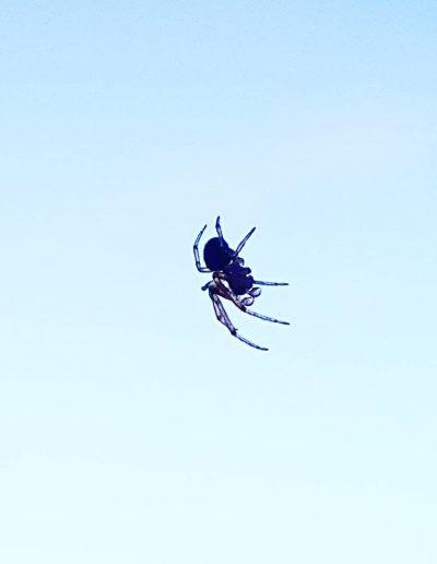 Spinnetje