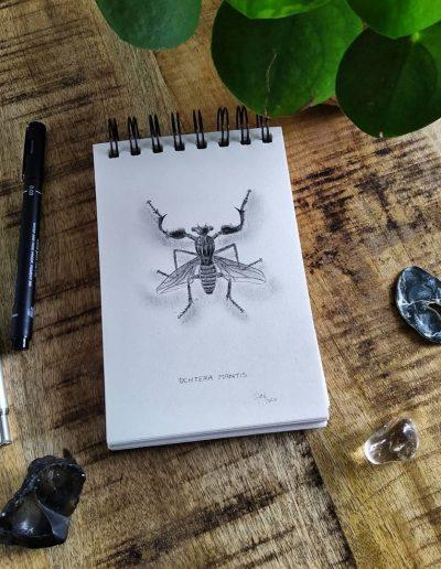 Ochtera Mantis,
